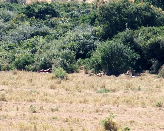 Addo Afrique Estate: The Lion made a kill next to the fence seperating the Addo Elephant Park from Addo Afrique.
