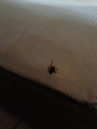 Mayan Princess Beach & Dive Resort: La cucaracha on clean bed
