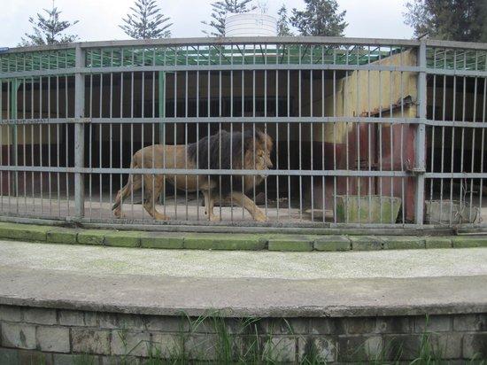 Lion Park: Sad lion in too small enclosure