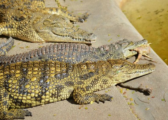 Crocodile Centre St Lucia : Be prepared to fight to keep your dinner