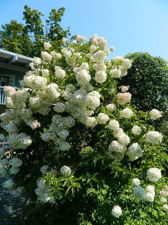 Paradise Inn: Beautiful hydrangea bush