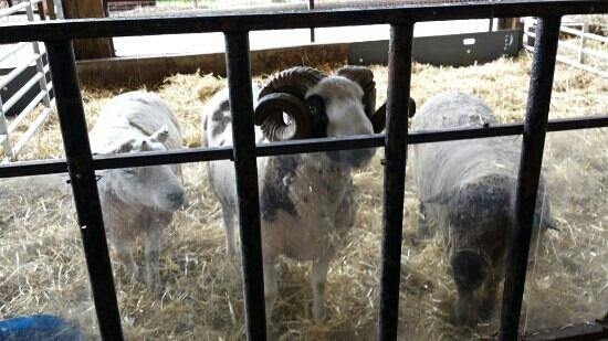 Greenmeadow Community Farm: sheep that you can feed