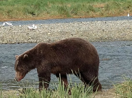 Kingfisher Aviation: Alaskan brown bear at Katmai National Park