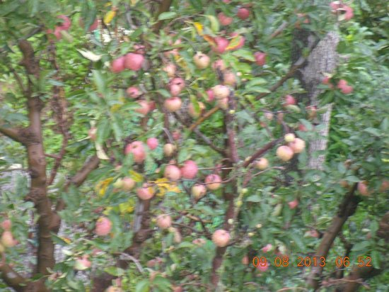 Pause at Manali: Apple tree in the compound..