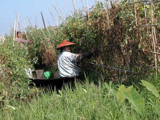 Nanda Wunn Hotel: harvesting Tomatoes at a floating farm at Inlay lake