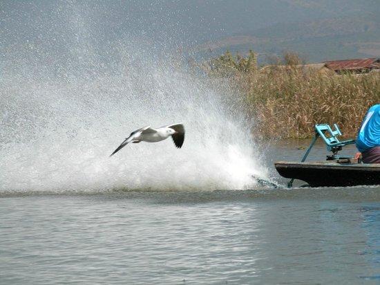 Nanda Wunn Hotel: Birds in  flight at Inlay lake