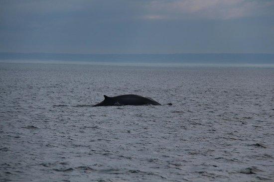 Croisières 2001 : Humpback Whale