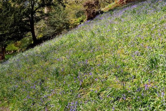 Dora's Field: Bluebells