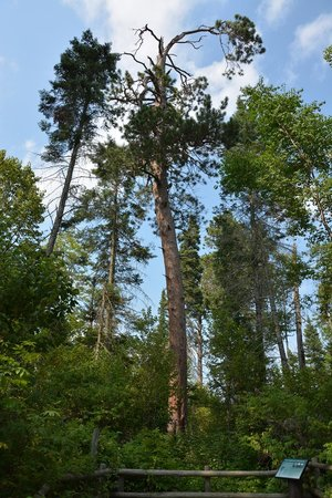 Lake Itasca, MN: Red Pine