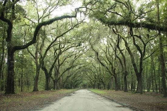 Wormsloe S Famous Trees Picture Of Wormsloe Historic