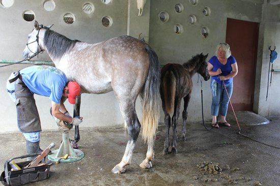 Leaves and Lizards Arenal Volcano Cabin Retreat: Debbie starts training four month old foal. Chito cleans hooves.