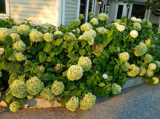 MT Anthony Country Club: Surrounded by hydrangeas