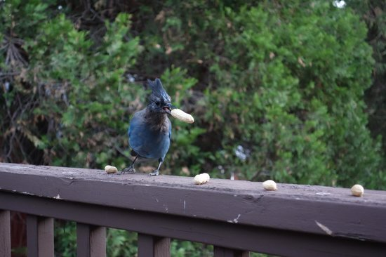 Yosemite Big Creek Inn: Stellar's Jays on our private balcony in the Merced room.