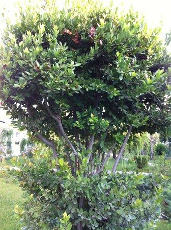 Merada Hotel: Harika Defne ağacı