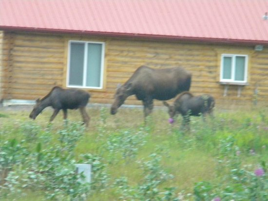 Alaska Redfish Lodge: 3 moose within a couple miles of the lodge