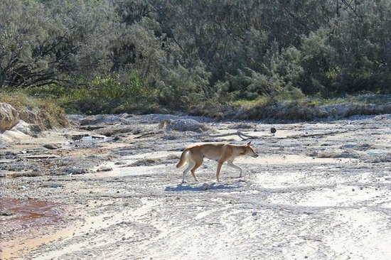 Fraser Experience Tours: Dingo