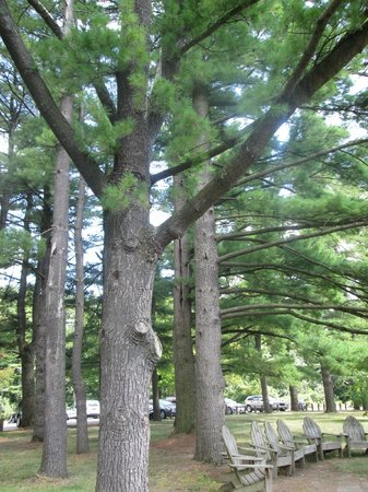 White Pines Forest State Park: White pine trees