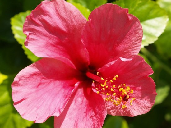 Villa Rosa Inn: Hibiscus blooming next to pool