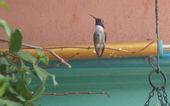Villa Rosa Inn: Male Calliope hummingbird