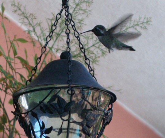 Villa Rosa Inn: Male Costa's hummingbird on patio