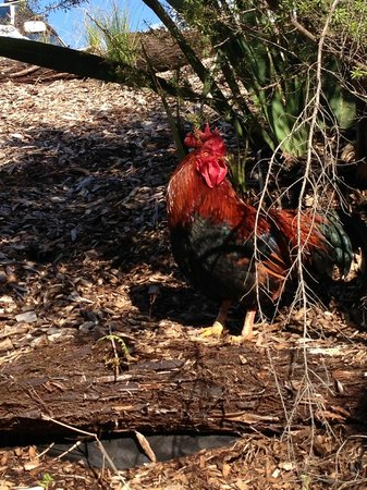 Brick Bay Sculpture Trail: Mr. Rooster