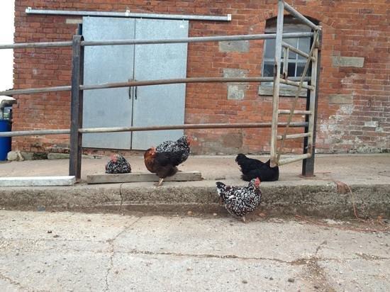 Moreton, UK: Source of breakfast eggs!