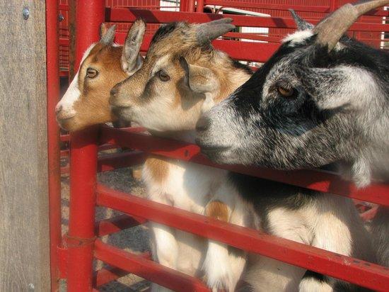 Lazy L Safari Park : 3 billy goats gruff?