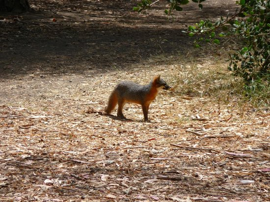 Scorpion Ranch Campground: Island endemic fox
