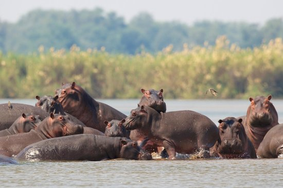 A pod of hippos playing