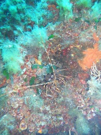 Nautisub Diving Center: Aragosta in parete