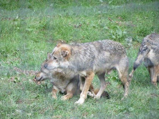 Parc Animalier de Courzieu : loups