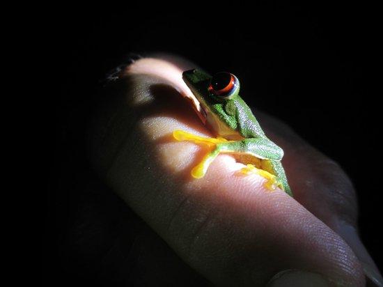 La Milpa Field Station: Night walk in the jungle to find tree frogs LaMilpa