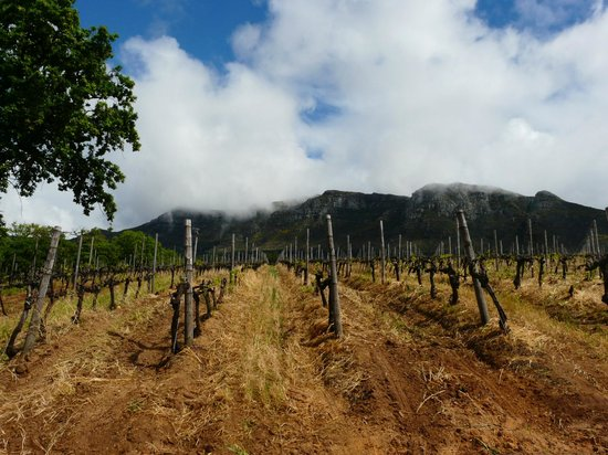 Klein Constantia: Table Mountain behind the vineyards