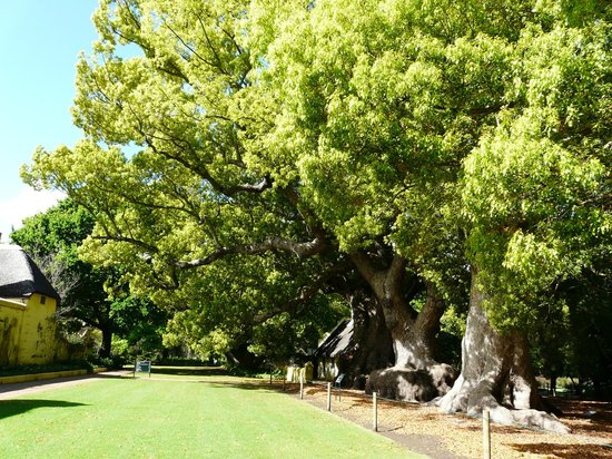 Vergelegen Estate: The camphor trees