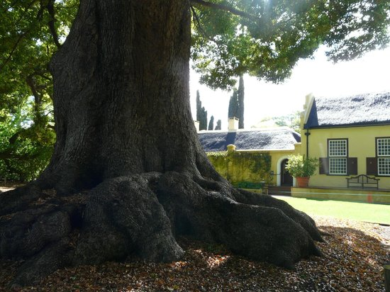 Vergelegen Estate: The scale of the trees against the house