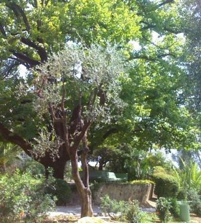Musée Renoir/Les Collettes : La beauté d'arbres centenaires vue d'un banc sous un figuier