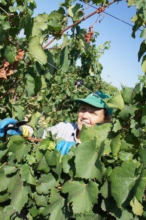 YLTour : Grape Harvest