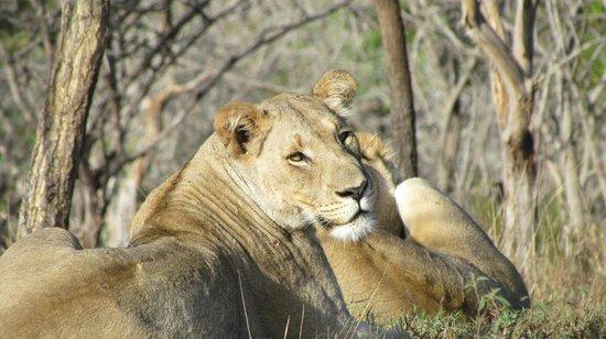 Zebra Hills Safari Lodge: Final morning game drive, two female lions.