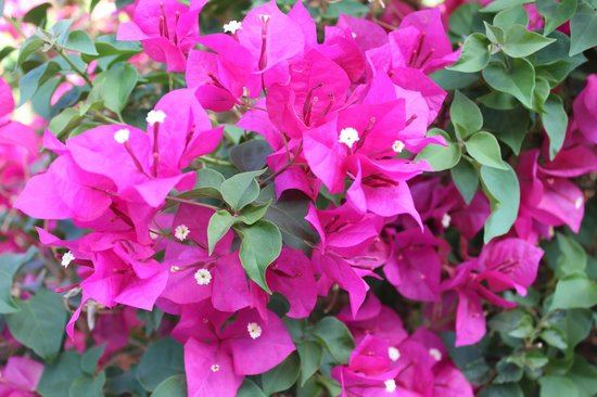 A Place in the Sun Garden Hotel: Beautiful Bougainvillea in the garden.