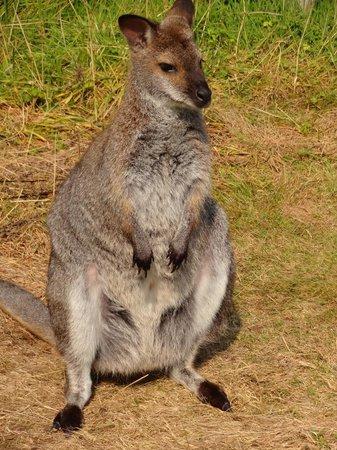Bowland Wild Boar Park: Wallabies