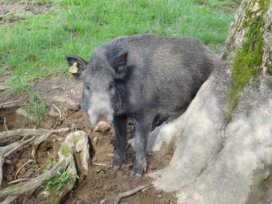 Bowland Wild Boar Park: Boar