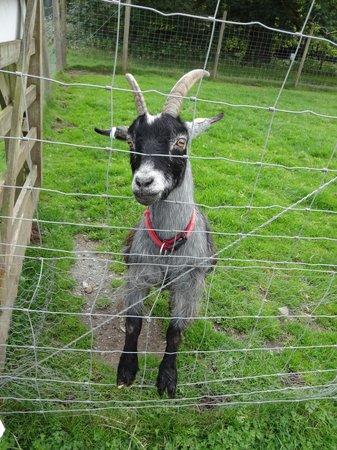 Bowland Wild Boar Park: Goat