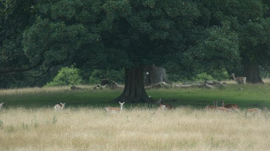 Brompton Lakes: Deer at Fountains Abbey