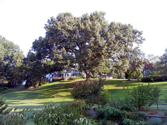 Meadow Gardens Bed and Breakfast: White oak tree in back yard