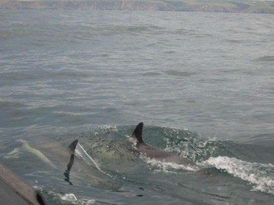 Cornish Sea Tours: Dolphins