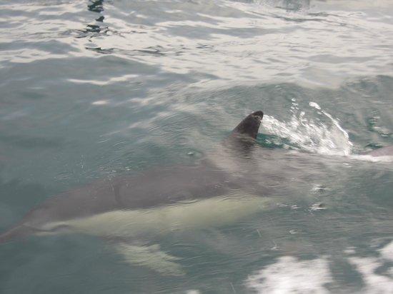 Cornish Sea Tours: Dolphin
