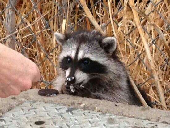 """Hilton San Francisco Airport Bayfront : Local """"tame"""" racoon eating a treat"""