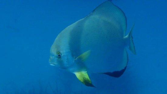 Batfish at Michaelmas Cay