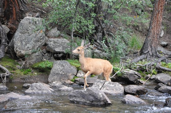 Idlewilde by the River: Mule deer in the river right outside our cabin door!