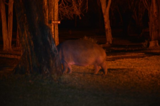 Lake Naivasha Sopa Resort: Hippo at night
